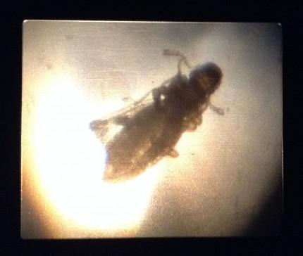 カビを好む虫。 「チャタテムシ」 全世界的に存在する。 体長1~1.3mm 羽があるもの、ないものが存在する。